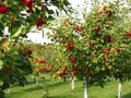 Caring Properly for your Fruit Tree